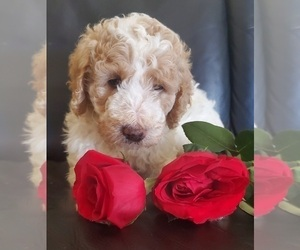 Labradoodle Puppy for sale in AURORA, CO, USA