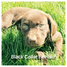 Labrador Retriever Puppy For Sale in PHOENIX, AZ