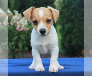 Jack Russell Terrier Puppy for sale in LEBANON, PA, USA