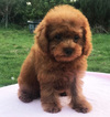 Red Toy Poodle Drew LA SFO NY CHI SEA