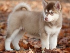 Alaskan Malamute Puppy For Sale in OAKRIDGE, OR, USA