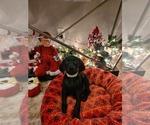 Puppy 3 Doberman Pinscher-Weimaraner Mix