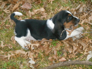 Basset Hound Puppy For Sale in BARTLESVILLE, OK