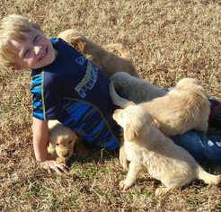 Golden Retriever Puppy For Sale in HARRISVILLE, MI