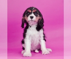Cavalier King Charles Spaniel Puppy for Sale in WARSAW, Indiana USA
