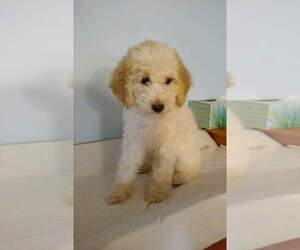Goldendoodle Puppy for Sale in LAFAYETTE, Indiana USA
