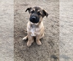 Small German Shepherd Dog-Siberian Husky Mix