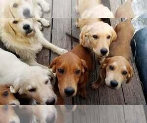 Great Pyrenees-Labrador Retriever Mix Dogs for adoption in CALLAO, MO, USA