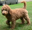 Australian Labradoodle-Poodle (Standard) Mix Puppy For Sale in WILSON, CT, USA