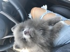 Pomeranian Puppy For Sale in SPRINGFIELD, OH, USA