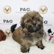 Shih Tzu Puppy For Sale in TEMPLE CITY, CA, USA