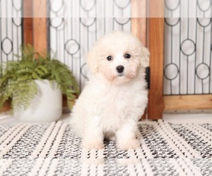 Medium Poochon