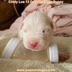 Small Photo #33 Dogo Argentino Puppy For Sale in PINEVILLE, MO, USA