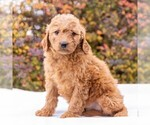 Small #2 Goldendoodle-Poodle (Miniature) Mix