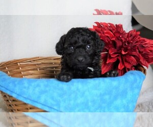 Goldendoodle-Poodle (Miniature) Mix Puppy for sale in FREDERICKSBG, OH, USA
