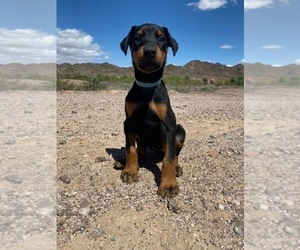 Doberman Pinscher Puppy for sale in HALIFAX, MA, USA