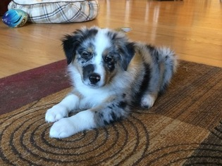 View Ad: Australian Shepherd Puppy for Sale near Michigan, LAPEER