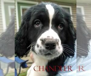 English Springer Spaniel Puppy for sale in BANGOR, ME, USA