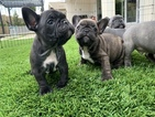 French Bulldog Puppy For Sale in IRVINE, CA, USA