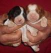 Cavalier King Charles Spaniel Puppy For Sale in HARTVILLE, Missouri,