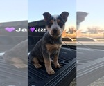 Small #7 Australian Cattle Dog