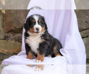 Bernese Mountain Dog Puppy for sale in FREDERICKSBG, OH, USA
