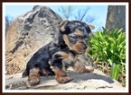 Yorkshire Terrier Puppy For Sale in SAN JOSE, California,