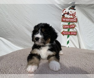 Bernedoodle Puppy for sale in HOLT, MO, USA