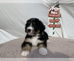 Image preview for Ad Listing. Nickname: Bernedoodle F1