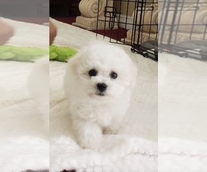 Bichon Frise Puppy for sale in MONTECITO, CA, USA