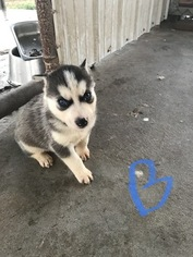 Siberian Husky Puppy For Sale in KELLYVILLE, OK, USA