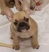 French Bulldog Puppy For Sale in ROCHESTER, MI, USA