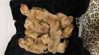 Dogue de Bordeaux Puppy For Sale in NASHUA, NH