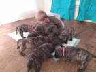 AKC registered English Mastiffs