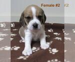 Puppy 1 Beagle