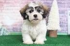 Zuchon Puppy For Sale in BEL AIR, MD, USA