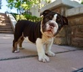 Bulldog Puppy For Sale in SAN FRANCISCO, CA,