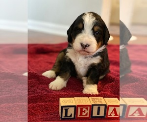 Bernedoodle Puppy for Sale in SPRINGFIELD, Virginia USA