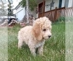 Small #5 Bernedoodle-Goldendoodle Mix
