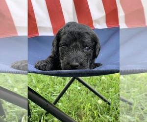Labradoodle Puppy for Sale in NIANGUA, Missouri USA