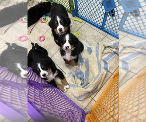 Bernese Mountain Dog Puppy for Sale in AZLE, Texas USA