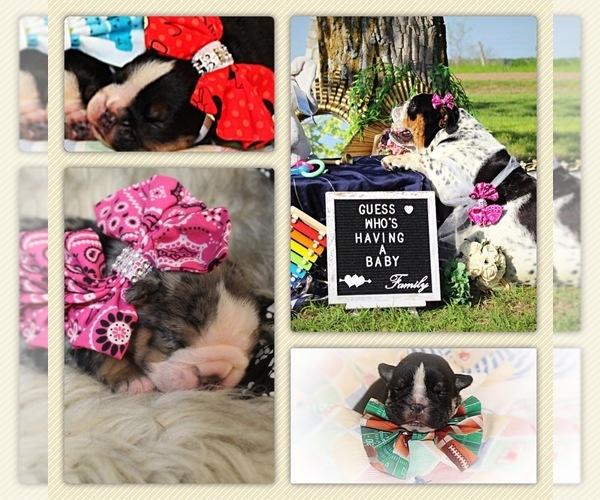 Medium Photo #8 Bulldog Puppy For Sale in CALDWELL, TX, USA