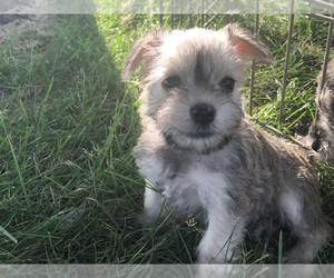 Schnauzer (Miniature) Puppy for sale in MICHIGANTOWN, IN, USA