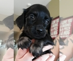 Puppy 5 Dachshund
