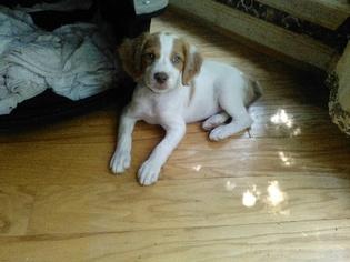 Brittany Puppy for sale in SMYRNA, GA, USA