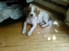 Brittany Puppy For Sale in SMYRNA, Georgia,