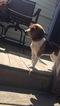 Beagle Puppy For Sale in BRISTOL, CT