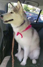 Siberian Husky Dogs for adoption in SEATTLE, WA, USA