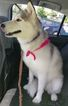 Siberian Husky Dog For Adoption in SEATTLE, WA, USA