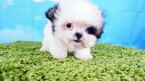 Shihtzu Puppy Female Fiona